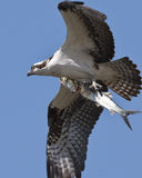 Osprey avec Madame Fish Photographie stock