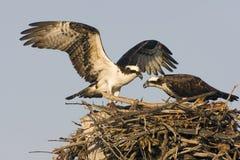 Osprey avec un ennemi de poissons son amour Images stock