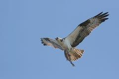 Osprey avec un poisson image libre de droits