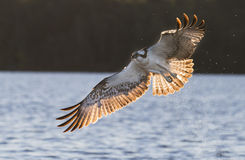 Osprey in backlight Royalty Free Stock Image