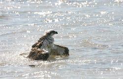 Osprey bathing Stock Image