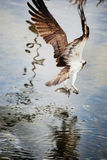Osprey from behind after catching a fish. Osprey with spread wings after catching a fish stock photo