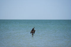 Osprey bird diving in sea stock photography