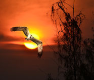 Osprey royalty free stock photos
