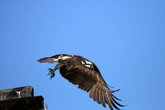 Osprey bird in flight Royalty Free Stock Photo