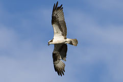 Osprey bird in flight Royalty Free Stock Image