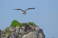 Osprey Bird in Flight Over a Nest Royalty Free Stock Photos