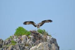 Osprey Bird Landing on a Nest Stock Photography