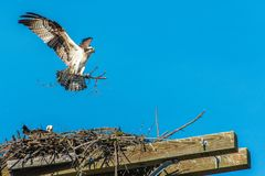 Osprey, Bird of Prey Buiding Nest, Canada stock photos