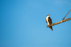Osprey bird on rusty metal perch with blue background. An adult osprey perched on a metal rusty post looks sideways showing stark yellow eyes Stock Image