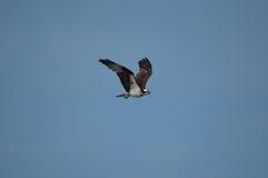 Osprey with Blue Skies in Flight Stock Photos