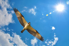 Osprey with blue sky clouds and sun Royalty Free Stock Photo