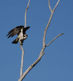Osprey on branch ready to take off. An early morning image of an osprey perched in a tree ready for flight stock photography