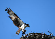 Osprey bringing dinner Stock Photo
