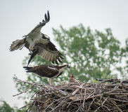 Osprey bringing fish to family Stock Photography