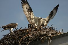 Osprey bringing fish to the nest royalty free stock photo