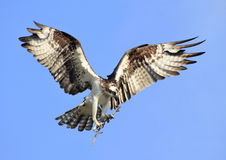 Osprey Bringing Stick to Add to It's Nest Royalty Free Stock Image