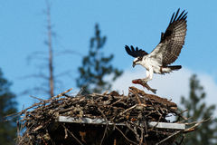Osprey brings huge fish to nest Stock Photo