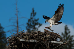 Osprey brings a huge fish to the nest for a newly hatched chick. (Pandion haliaetus) Oregon, Emigrant Lake, Taken 06/2014 Royalty Free Stock Photography