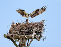 Osprey building nest, Jamaica Bay, Queens, New York City. Osprey with open wings building a twig nest on a nesting platform at Jamaica Bay, Queens, New York City stock image