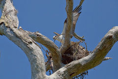 Osprey Building Nest Royalty Free Stock Photography