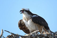 Osprey Calling From Nest Stock Images
