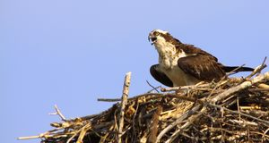 Osprey Calling in Nest Copy Space Hotizontal Royalty Free Stock Image