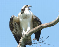 Osprey Calls Royalty Free Stock Photos