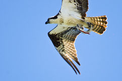 Osprey Carrying a Bloody Fish Stock Image