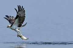 Osprey Carrying Fish. Osprey pulling a fish out of the water Royalty Free Stock Image