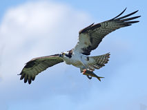 Osprey Carrying Fish Royalty Free Stock Images