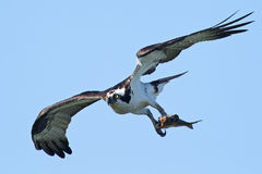 Osprey Carrying Fish Stock Photo