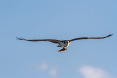 Osprey carrying a fish Stock Photography