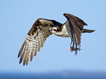 Osprey Carrying Fish Royalty Free Stock Photography