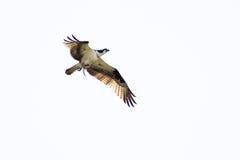 Osprey Carrying Fish on White Background Royalty Free Stock Image