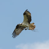 Osprey Carrying Nesting Material Royalty Free Stock Photography