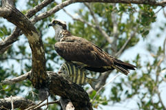 Osprey and Catch. Osprey perched in tree with fresh catch Royalty Free Stock Photo