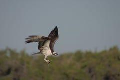 Osprey with catch. Osprey at 9 Mile Pond, Everglades National Park, Florida Stock Photography
