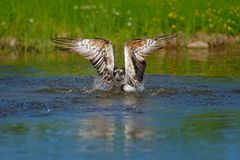 Osprey catch fish. Flying osprey with fish. Action scene with bird, nature water habitat. Osprey with fish fly. Bird of prey with Royalty Free Stock Photography