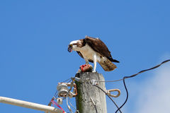 Osprey with a catch on a light pole Royalty Free Stock Photography