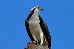 Osprey with a catch on a light pole Royalty Free Stock Photo