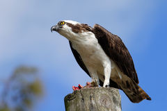 Osprey with a catch on a light pole Royalty Free Stock Image