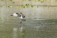Osprey catches big fish. Stock Images