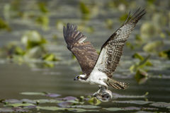 Osprey catches fish in claws. An osprey just caught a fish in Fernan Lake in North Idaho Royalty Free Stock Image