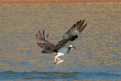Osprey catches a fish and grasps it in his talons. Pandion haliaetus Oregon, Ashland, Emigrant Lake royalty free stock photos