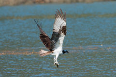 Osprey catches a fish from the lake and grasps it in his talons. (Pandion haliaetus) Oregon, Emigrant Lake, Near Ashland, Taken 06/2014 royalty free stock photography