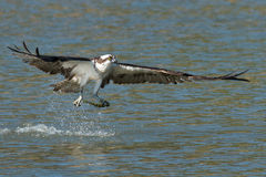Osprey catches a fish from the lake and grasps it in his talons. (Pandion haliaetus) Oregon, Emigrant Lake, Near Ashland, Taken 07/28/2014 royalty free stock photo