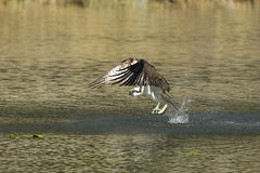 Osprey catches fish from water. Royalty Free Stock Photo