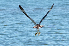Osprey catches two fish Stock Images