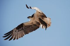 OSPREY catching fish Royalty Free Stock Image